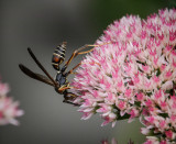 DSC05396 Paper Wasp in Profile