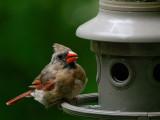 DSC05556 DxO Molting Cardinal