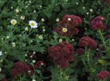 PA020013 Faithful Chrysanthemums Beginning to Bloom