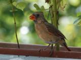 DSC05902 Mrs. Cardinal Stopped By