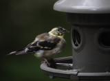 DSC06345 Molting Male American Goldfinch?