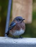 DSC06737 newly arrived female bluebird