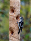 DSC00484DxO Can Downy Woodpeckers be Nearsighted?