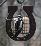 DSC07325 Male Hairy Woodpecker