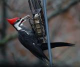 DSC07418 Male Pileated Woodpecker