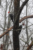 Female and Male Pileated Woodpeckers
