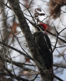 DSC07631 Female Pileated Woodpecker