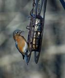 DSC01941 Male Bluebird