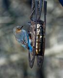 DSC01971 Male Bluebird