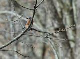 DSC02090 bluebird in tree.jpg