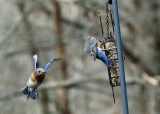 DSC02113 DxO flying bluebird.jpg