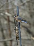 DSC02117 bluebird on pole.jpg