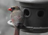 DSC07960 Female Cardinal