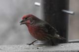 DSC07970 Male Purple Finch