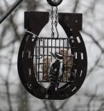 DSC07999 Male Downy Woodpecker