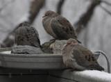 DSC08008 Doves like the heated birdbath