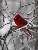 DSC08027 Snow + Cardinal = Pretty