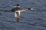 flying Great Crested Grebe / vliegende Fuut