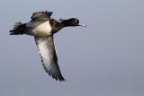 Tufted Duck / Kuifeend