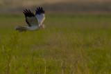 Hen Harrier / Blauwe Kiekendief