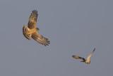 Hen Harrier quarreling with Short-eared Owl about mouse / Blauwe Kiekendief ruziënd met Velduil om muis