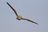 Short-eared Owl / Velduil