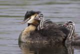 Great Crested Grebe with chicks / Fuut met jongen