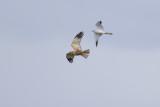 Pallid Harrier (adult male) and Marsh Harrier / Steppekiekendief (adult mannetje) en Bruine Kiekendief