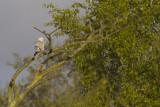 adult male Pallid Harrier / adult mannetje Steppekiekendief