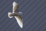 Iceland Gull / Kleine Burgemeester