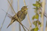 Grasshopper Warbler / Sprinkhaanzanger