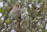 Common Nightingale / Nachtegaal