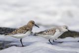 Sanderlings / Drieteenstrandlopers