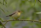 Melodious Warbler / Orpheusspotvogel