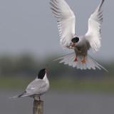 Common Tern, bringing courtship gift to female / Visdief biedt vis aan vrouwtje aan