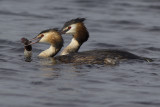Great Crested Grebes with prey / Futen met prooi