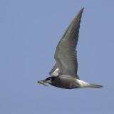 Black Tern with dragonfly / Zwarte Stern met Gewone Oeverlibel