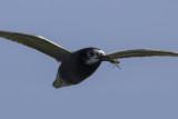 Black Tern with prey / Zwarte Stern met prooi