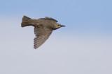 Common Starling / Spreeuw
