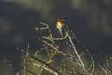 European Bee-eater / Bijeneter