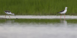 adult and juvenile Black-winged Stilt / volwassen en jonge Steltkluut
