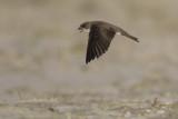 Sand Martin / Oeverzwaluw