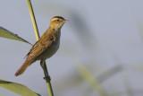 Sedge Warbler / Rietzanger