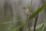 Aquatic Warbler / Waterrietzanger