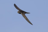 Common Swift / Gierzwaluw