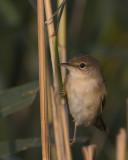European Reed Warbler / Kleine Karekiet