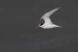Little Tern / Dwergstern