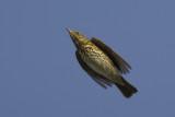 migrating Song Thrush / Zanglijster op trek