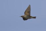 migrating Common Starling /  Spreeuw op trek