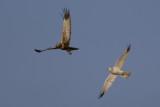 Pallid Harrier and Marsh Harrier / Steppekiekendief en Bruine Kiekendief